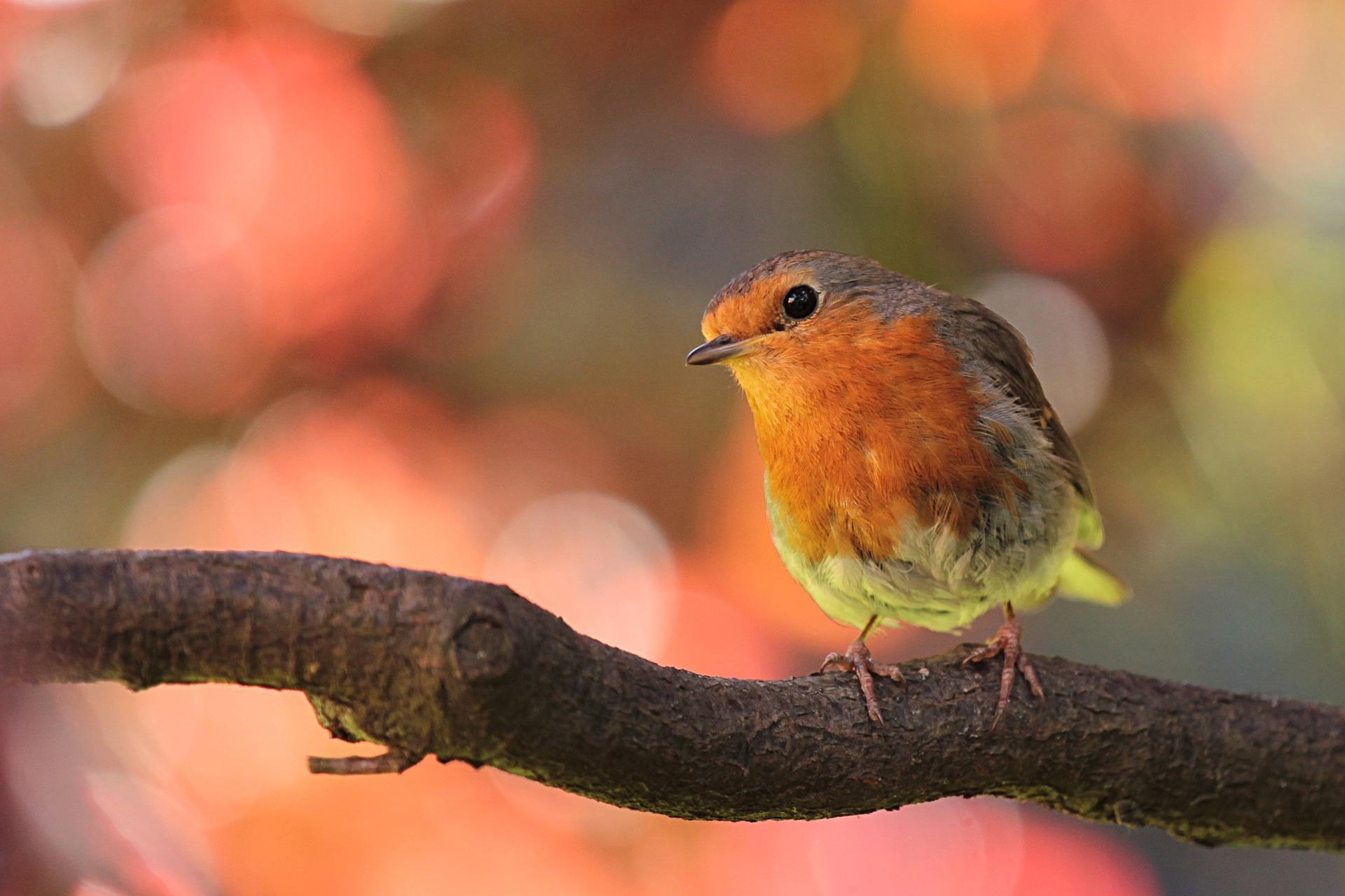 bird branch robin