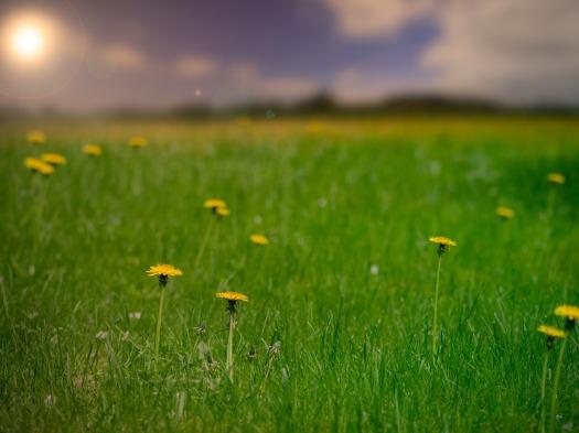 dandelions field