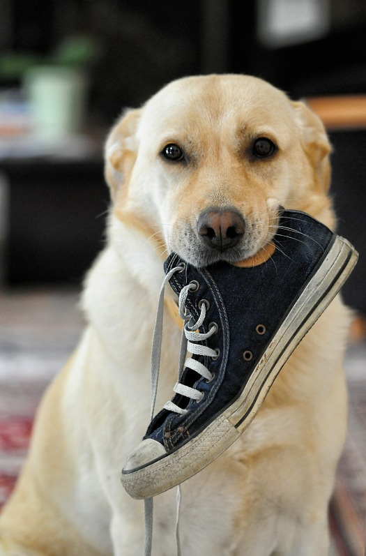 dog chewing shoe