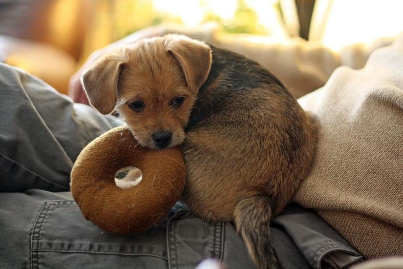 dog lap toy
