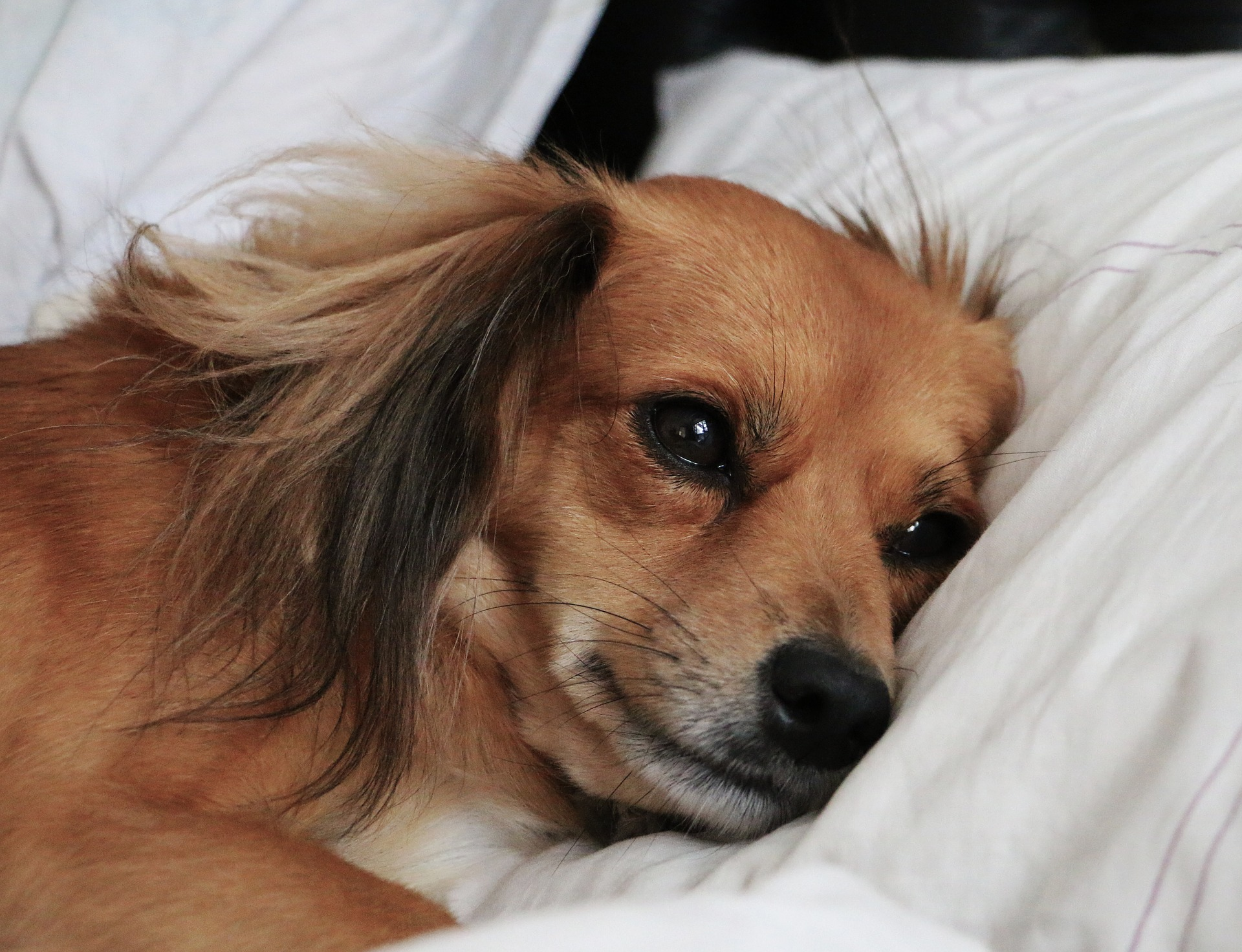 dog on bed pillow