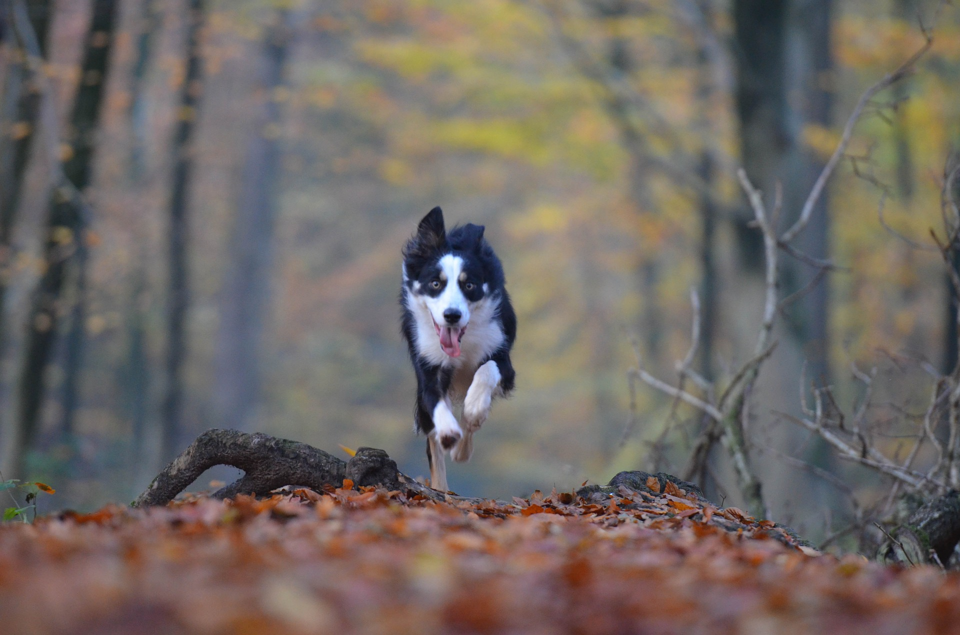 dog running forest path