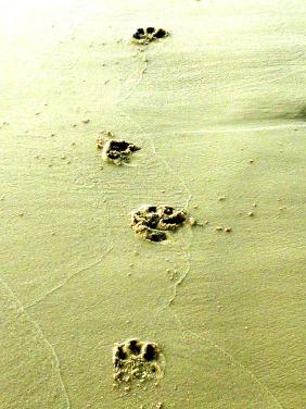 paw prints sand