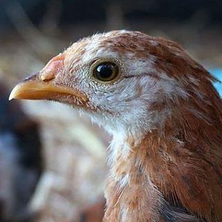 skanks chicken rescue