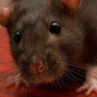 mr jingles rat