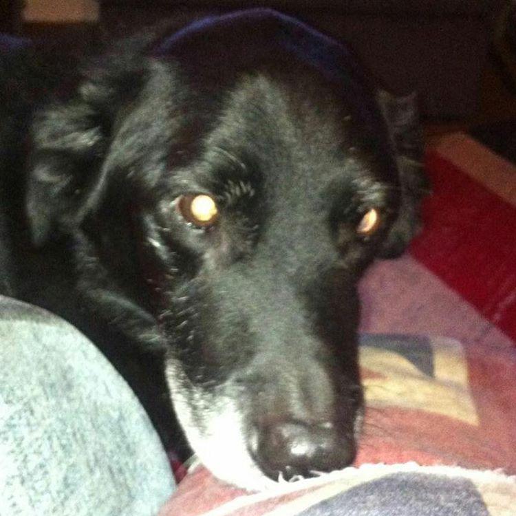 sam collie lab cross dog