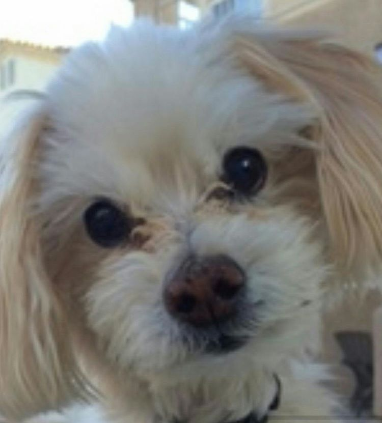 maverick maltese dog