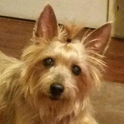 silkey terrier dog chloe