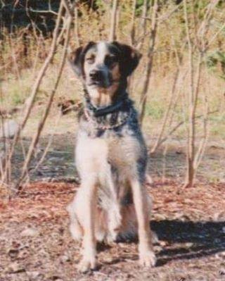 bluetick coonhound mix cross Moo