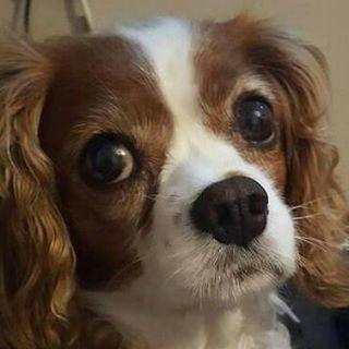amber king charles cavelier spaniel dog