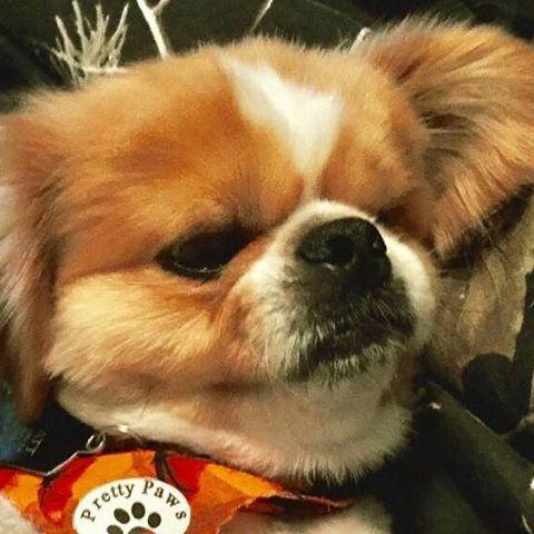 charlie wayne pekinese dog