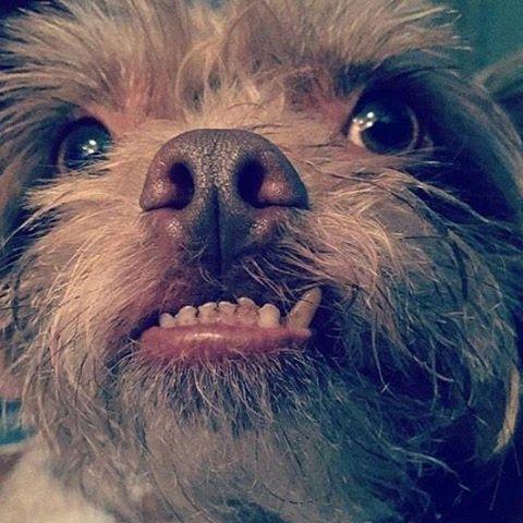 chewie chihuahua shih tzu cross mixed breed