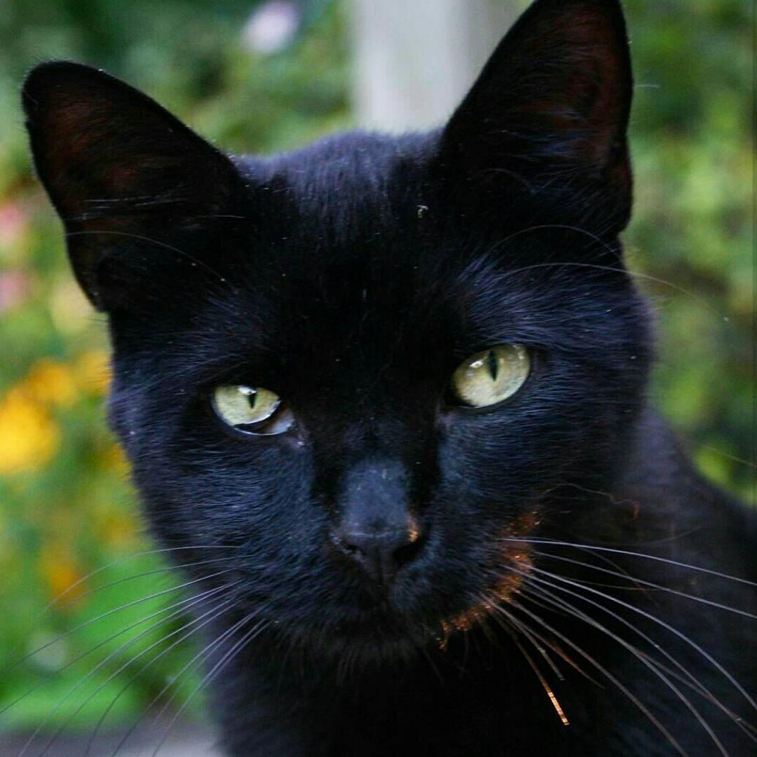 martin black cat