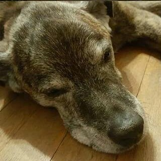 lulu putbull rottie mix dog
