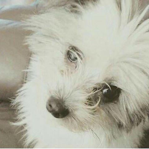 elsa chichon white dog