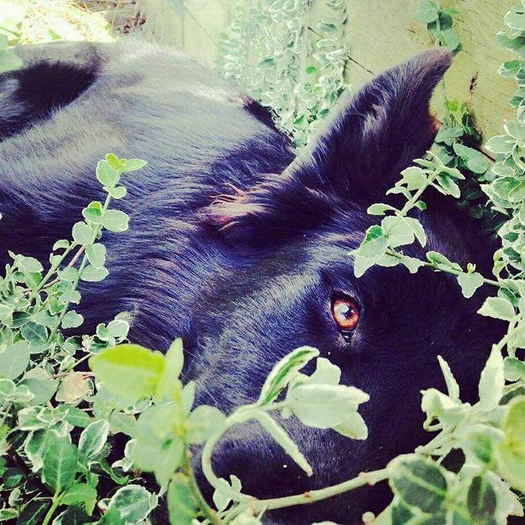crixus black dutch shepherd dog