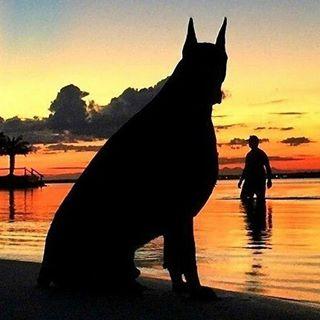 boss doberman dog