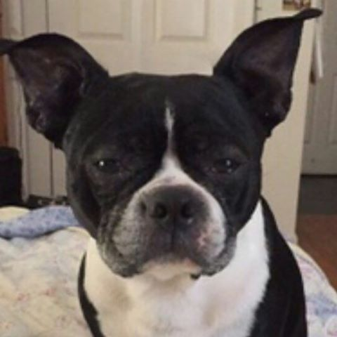 jacob boston terrier dog