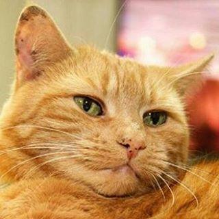 simone ginger cat