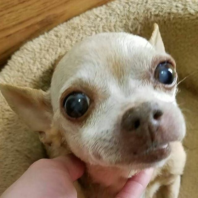 little angel chihuahua dog
