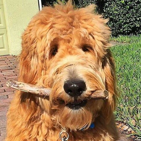 dr bunsen honeydew golden doodle dog