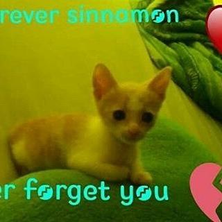 sinnamon cat
