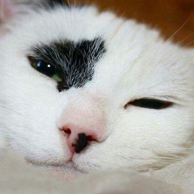 snowey black white cat