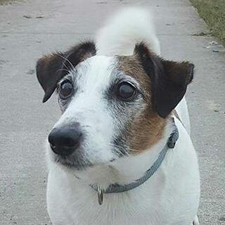 kilath jack russell terrier dog