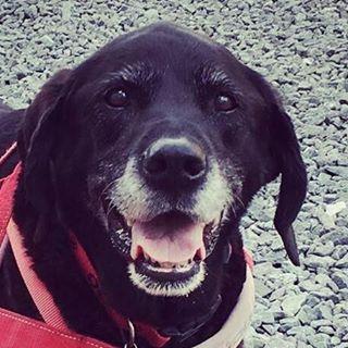 massie black lab labrador dog