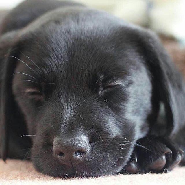 dexter black lab dog labrador