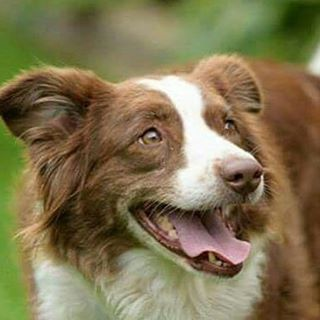 skye rescue collie mix dog