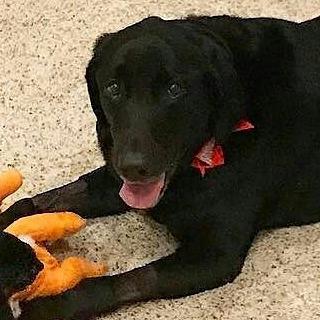 annie black lab labrador dog