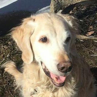 shadow golden retriever dog