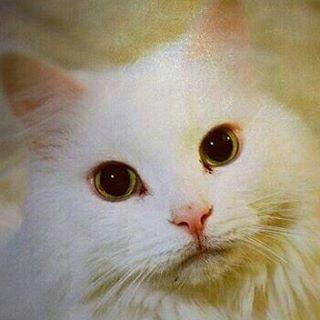 fleycy white cat