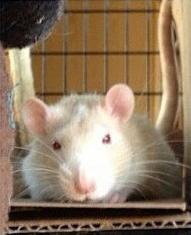 abu-boy white rat
