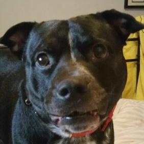 dexter staff dog