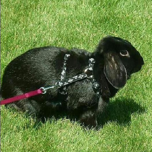 twixbun, black, bunny, rabbit