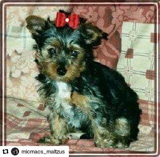luna yorkshire terrier dog