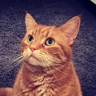 Chilli, tabby, cat