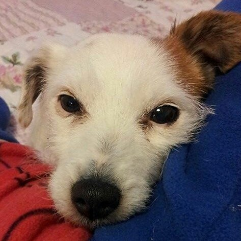 poppy, jack, russell, parsons, terrier, dog