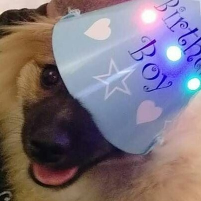 sabor, pomeranian, birthday, dog